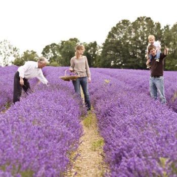Join us for a meander through the lavender at Foxbury Farm with Mitchell and Peach