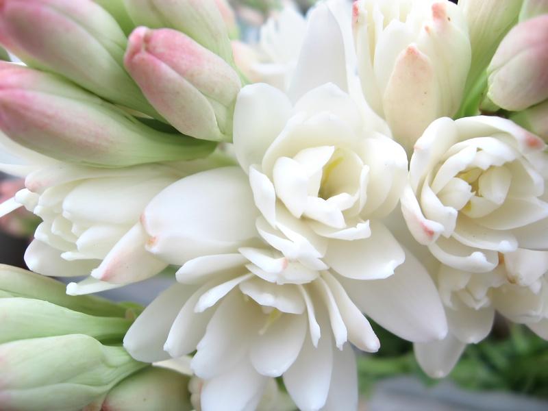 Ingredient of the Week: Tuberose - The Perfume Society