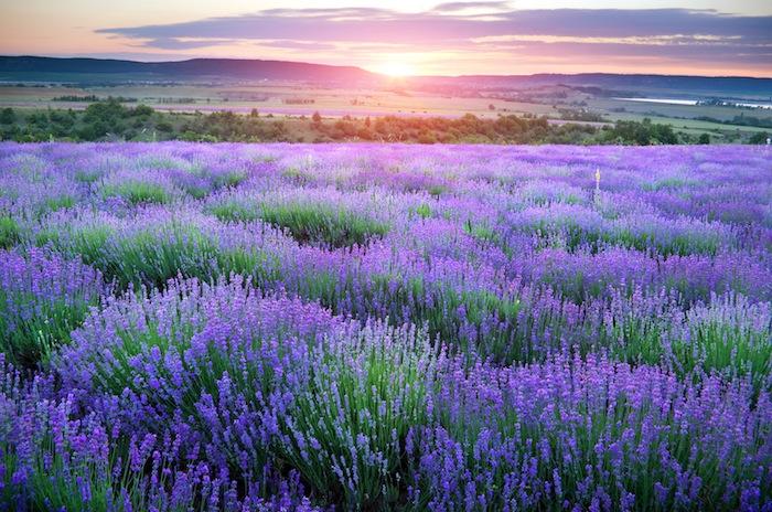 'Fragrance ingredient of the week: Lavender'