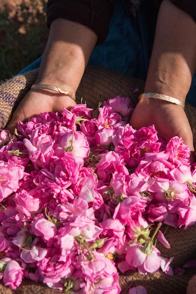 Marokko Atlas Region Tal der Rosen El Kelaa M' Gouna Rosenpflückerinnen
