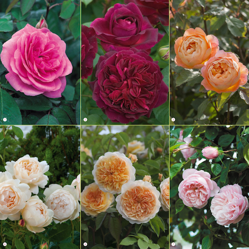 Which are the most fragrant roses on earth? Read our guide to a heavenly scented garden…