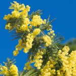 Mimosa: let the sunshine in!