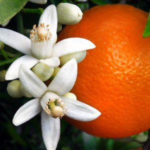 An Orange Blossom workshop with Daniel Pescio