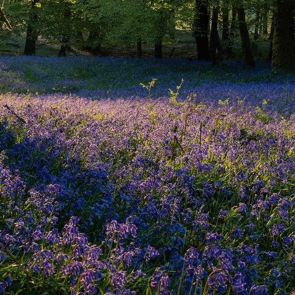 Beautiful bluebells – springtime scents to fall for