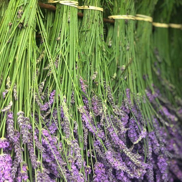 Castle Farm's lavender harvest: our fragrant field trip