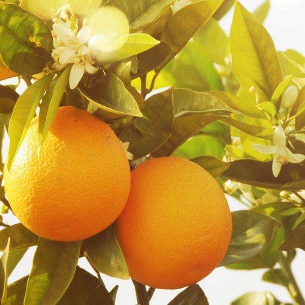 'Orange blossom: how to bottle sunshine'