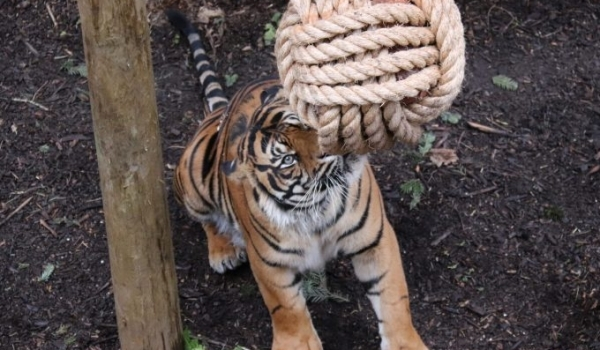 'Dudley Zoo's big cats go crazy for Salome!'