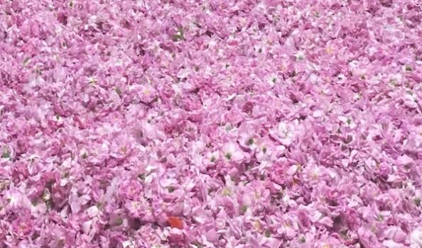 Anima Vinci's Centifolia rose harvest