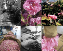There are roses, roses everywhere in our second issue of The Scented Letter, for subscribers